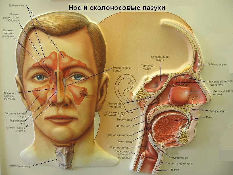 болезни гайморовых пазух.